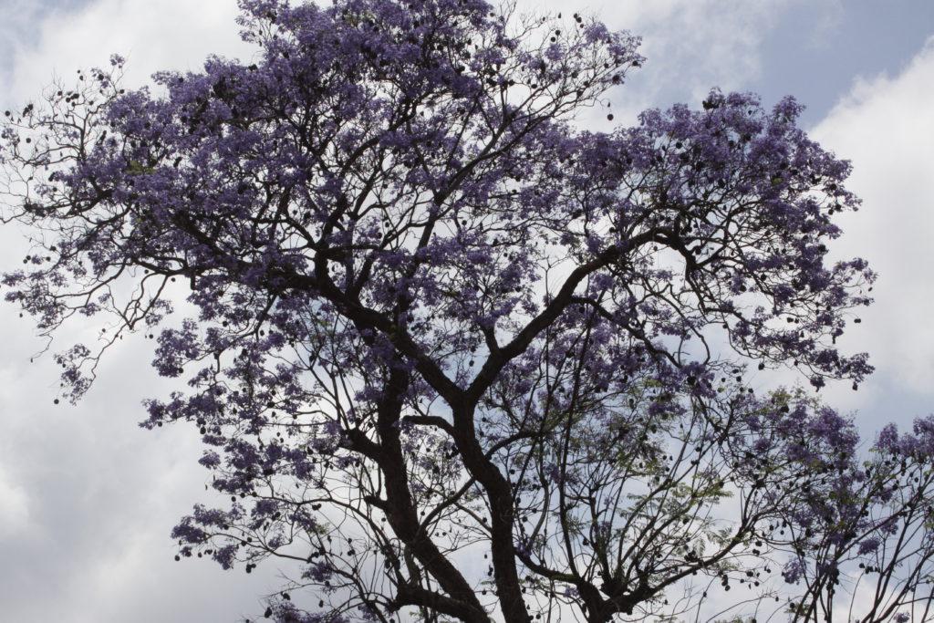 De Jacaranda